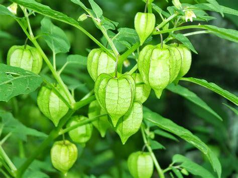 manfaat  khasiat daun ciplukan  kesehatan