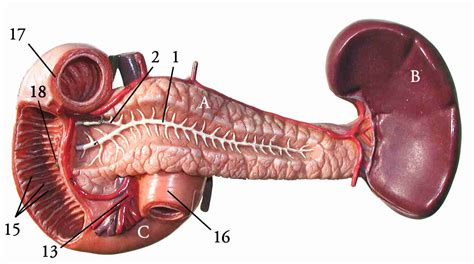 where is my spleen located diagram where is my spleen located in diagram where free