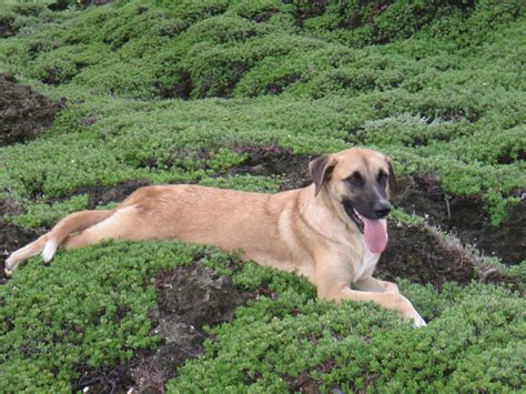 Anatolian Shepherd Shedding by Anatolian Shepherd Breed Information Puppies Pictures
