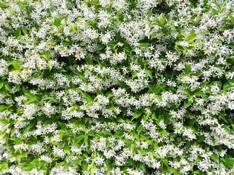 potatura gelsomino in vaso gelsomino jasminum come potare il gelsomino e coltivarlo