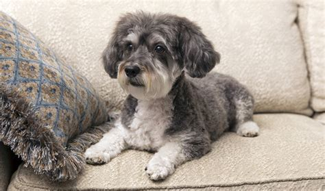 schnoodle puppy schnoodle schnauzer poodle mix info puppies temperament pictures