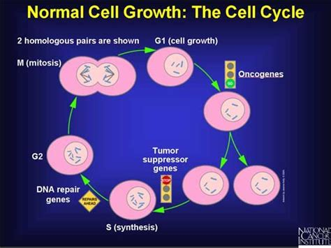 growth centered family a holistic strategy for better parenting and family relationships books normal cell growth the cell cycle cancer research