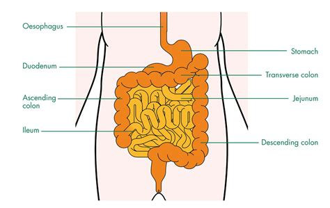 diagram of the intestines food poisoning diagram