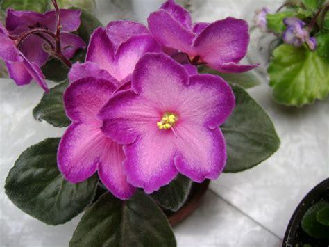 african violet houseplant guru african violets
