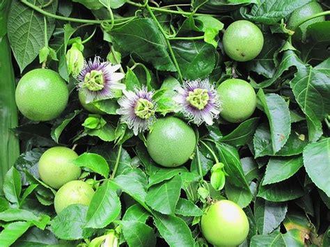 fiore frutto della passione frutto passione ricanti frutto della passione