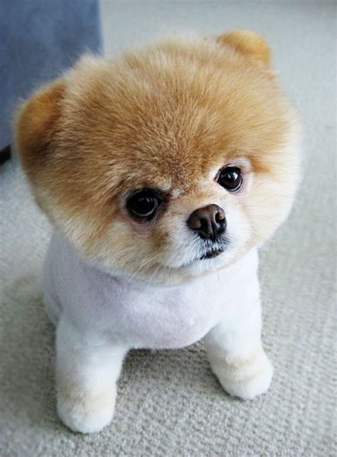 buy dogs puppooly is a puppy find more http www imaddictedtoyou