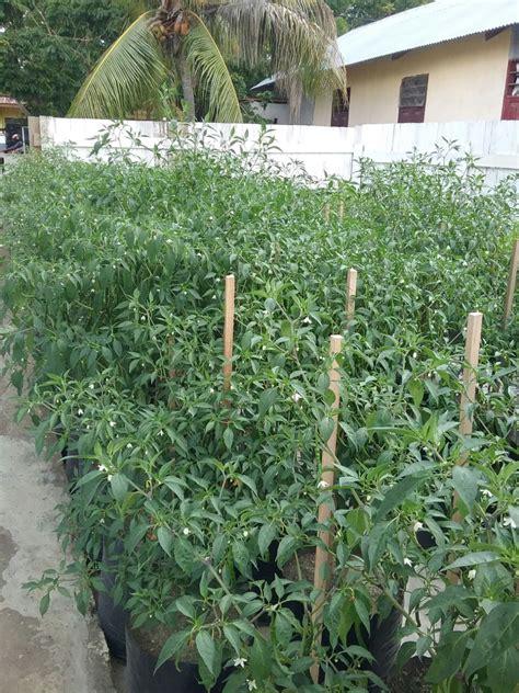 Harga Sariayu Solusi Organik tanam cabe dalam polybag solusi mengantisipasi tingginya harga klinik pertanian organik