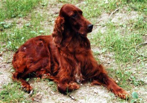 irish setter gun dogs for sale hunting dogs irish setter english setter gordon setter
