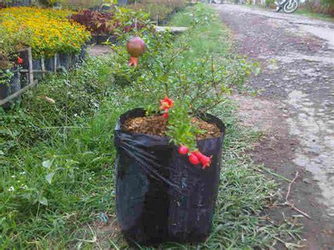Tanaman Buah Delima Mini Siap Buah tanaman delima mini mini pomegranate bibitbunga