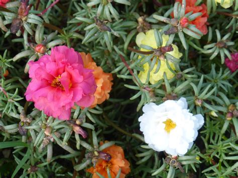 portulaca  fashioned moss rose   southern