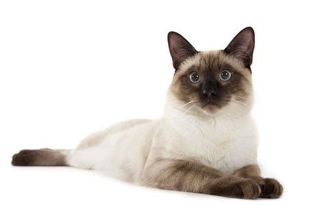 The Traditional Siamese Cat   Cat Breeds Encyclopedia