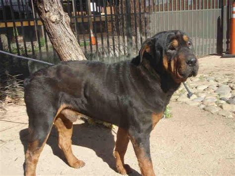 rottweiler shar pei mix beautiful rottie sharpei needs urgent home foster abby