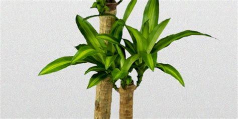 dracaena fragrans dracaena fragrans massangeana superior plantscapes