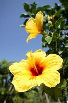 which state has a hibiscus 1000 images about hibiscus on pinterest hibiscus tree