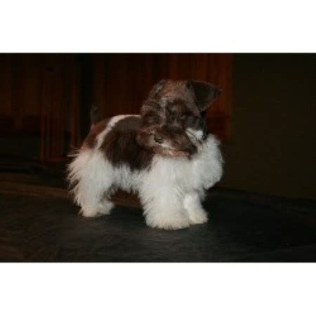schnauzer puppies nc blueridge schnauzers miniature schnauzer breeder in sparta carolina listing