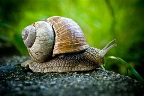backyard snails slow snails are quick to make new species