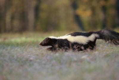 how to make dog smell go away in house how long does it take for skunk smell to go away sciencing