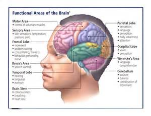 nerves human brain cns and pns the o jays of and the