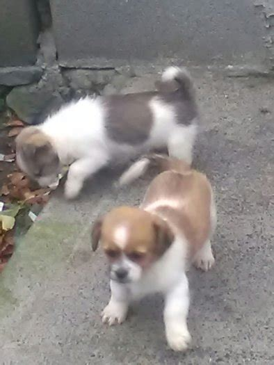 tibetan spaniel x shih tzu tibetan spaniel x shih tzu puppies dogs for adoption in oldcastle meath from lindasmith