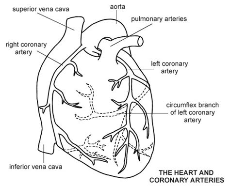 diagram of coronary arteries unlabeled diagram cliparts co