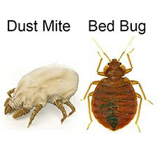 do i have bed bugs bed bugs or dust mites what s the difference info