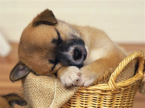 Super Cute Baby Puppies Sleeping   wallpaper.