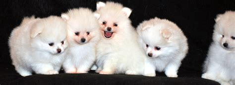 pomeranian pregnancy stages prices start at 1 500