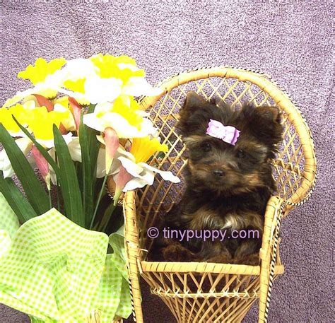 teacup yorkie puppies for sale nz micro pocket tiny teacup yorkie puppies for sale in adelaide park breeds picture