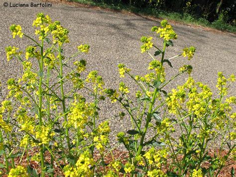 nome fiore giallo fiori gialli comuni stratfordseattle