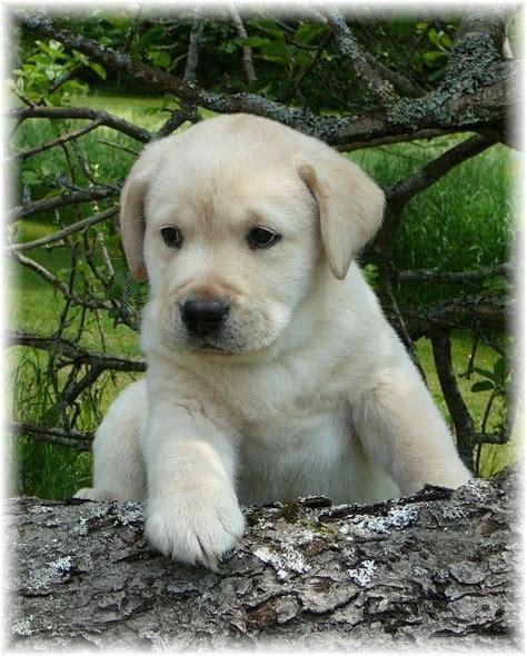 chocolate lab puppies maine pin by tammy kuczinski on i labs