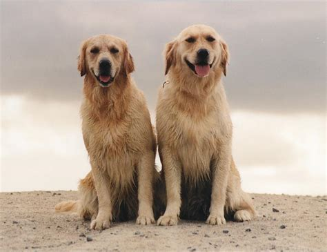 fernfall golden retrievers fernfall golden retrievers