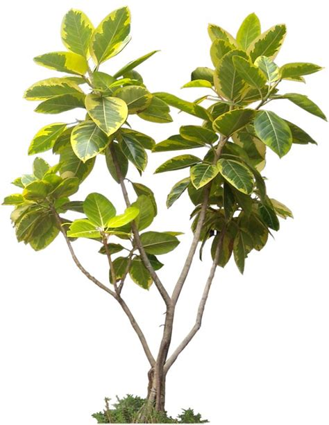 Ficus Interior 698 Best Tree Cut Out Cambodian Plants Images On