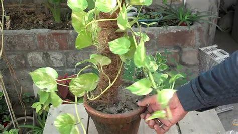 grow money plant  water bottle indoor money