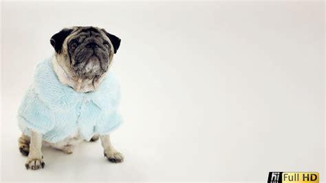 pug fur coat stock footage videohive pug in glamorous baby blue fur coat 11641536 187 chreagle