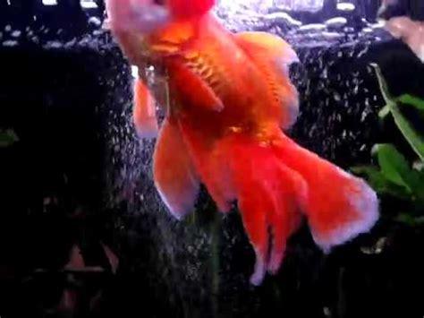 pesci testa di acquario con pesci colorati testa di