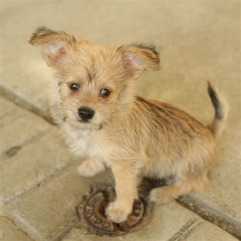 yorkie terrier mix puppies yorkie terrier mix puppies breeds picture