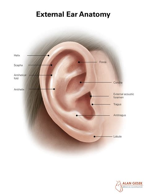 anatomy of the outer ear diagram wiring diagram quiz wiring free engine image for user