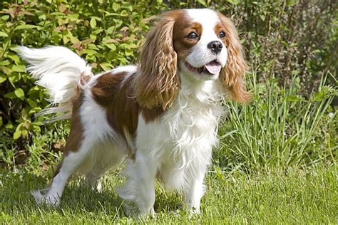 cavalier king charles spaniels whats good and bad about em 10 cute dogs to make your day better