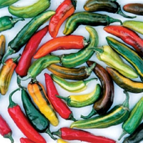 Benih Coklat cabe fish pepper 5 benih toko benih tanaman