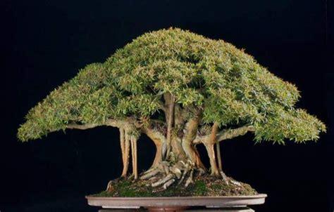 menanam  merawat bonsai beringin  baik