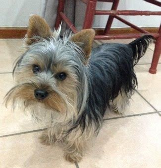 yorkie rescue sa sa yorkie rescue terriers for adoption