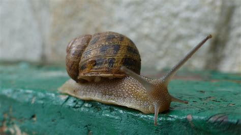 un caracol a snail kostenlose foto tier gr 252 n makro biologie garten fauna wirbellos nahansicht farben