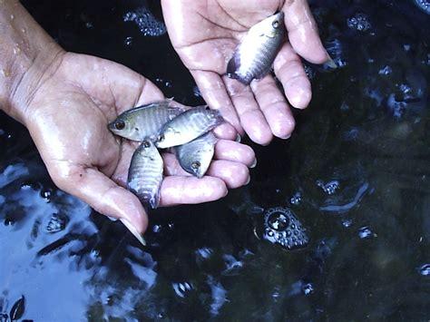 Bibit Ikan Mujair budidaya gurami lahan sempit sistem guba bp4k kab gresik