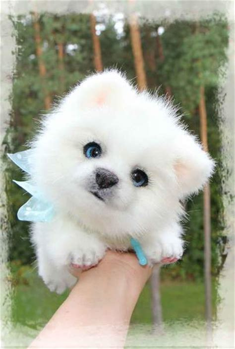 snowball puppy snowball the pomeranian puppy by k pile