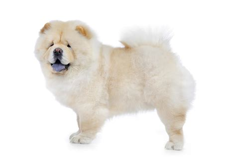 chow chow chow chow doctissimo