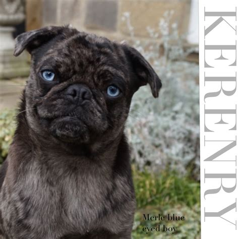 pug with blue pugs with blue related keywords pugs with blue keywords keywordsking
