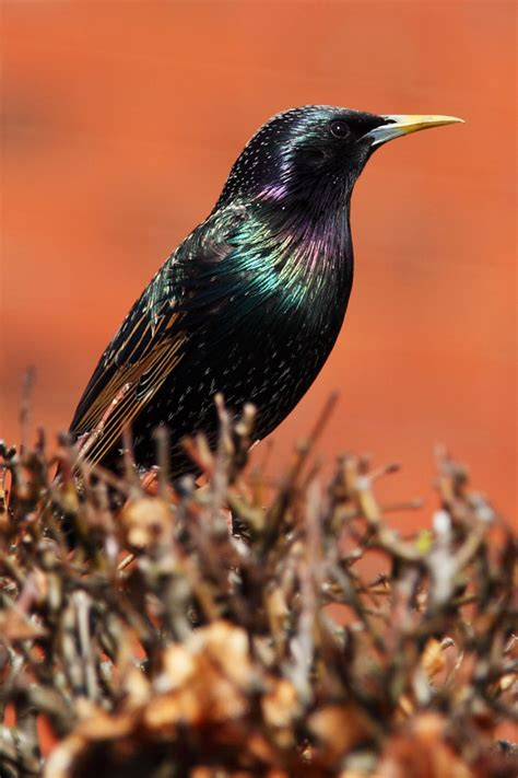 starling bird free stock photo public domain pictures
