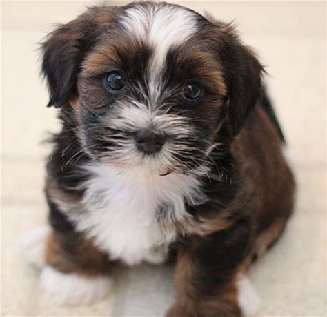 bichon shih tzu puppies for sale in calgary 17 best ideas about zuchon puppies for sale on teddy puppies teddy