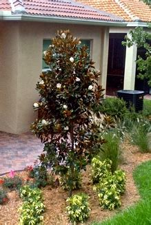 Small Hardy Flowering Shrubs - buy little gem magnolia trees for sale in miami ft lauderdale