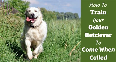 golden retriever techniques golden retriever tips photo